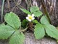 Starr-120312-3809-Fragaria vesca-flowering habit-Kula Botanical Garden-Maui (25111461486).jpg
