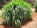 Starr-120702-7891-Cenchrus purpureus-var Mott forage pasture grass-USDA Plant Materials Center-Molokai (25186219585).jpg