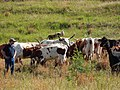 Starr-141229-3222-Andropogon virginicus-habit with cows and sheep-Hoku Nui Piiholo-Maui (24623442513).jpg