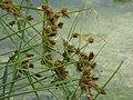 Starr-150327-0411-Cyperus polystachyos-seedheads-Baseball Field Seep Sand Island-Midway Atoll (25149857482).jpg