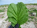 Starr-150403-0143-Brassica juncea-leaf-Southeast Eastern Island-Midway Atoll (24645050724).jpg