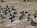 Starr-150403-0281-Brassica juncea-Sooty Terns and Laysan Albatrosses-Southeast Eastern Island-Midway Atoll (25249836386).jpg