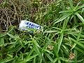 Starr-180505-0590-Schiedea globosa-with Bud Light beer can-Punalau-Maui (42571737425).jpg