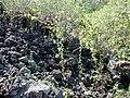 Starr 030202-0002 Triumfetta semitriloba.jpg