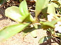Starr 030525-0009 Myoporum sandwicense.jpg