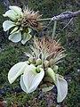 Starr 030716-0188 Erythrina sandwicensis.jpg