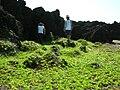 Starr 050924-7855 Jacquemontia ovalifolia subsp. sandwicensis.jpg