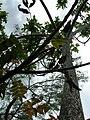 Starr 060221-6048 Rhus sandwicensis.jpg