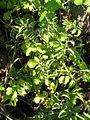 Starr 060406-7207 Solanum lycopersicum var. cerasiforme.jpg