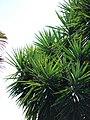 Starr 070302-4973 Yucca sp..jpg