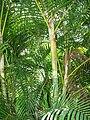 Starr 070321-5963 Chrysalidocarpus lutescens.jpg