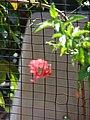 Starr 070402-6300 Hibiscus schizopetalus.jpg