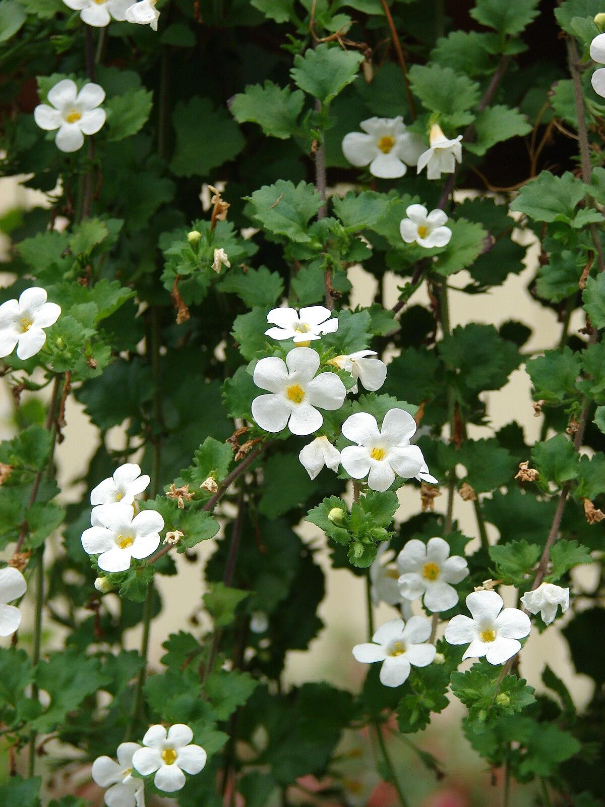 Sutera Plant Wikipedia