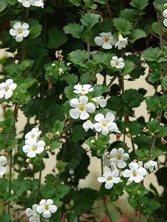 Sutera (plant) - Sutera cordata