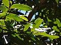 Starr 070910-9467 Dimocarpus longan.jpg