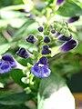 Starr 080103-1357 Scutellaria javanica.jpg