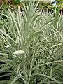 Starr 080117-1500 Helichrysum thianschanicum.jpg