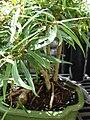 Starr 080117-1888 Ficus neriifolia var. nemoralis.jpg
