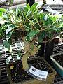 Starr 080117-1895 Ficus microcarpa.jpg