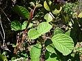 Starr 080219-3012 Rubus ellipticus.jpg