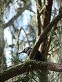 Starr 080614-8896 Casuarina equisetifolia.jpg
