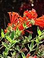 Starr 080716-9261 Bouvardia ternifolia.jpg