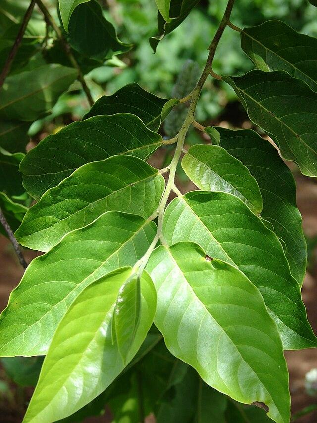feuilles de l'ylang-ylang
