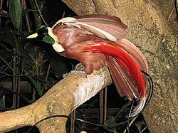 Le paradisier 250px-Stavenn_Paradisaea_rubra_00
