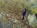 Stellers jay in antelope brush.jpg