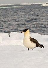 Stercorarius pomarinus snow.jpg