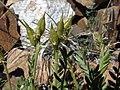 Sticky oxytrope, Oxytropis borealis var. viscida (24384163935).jpg