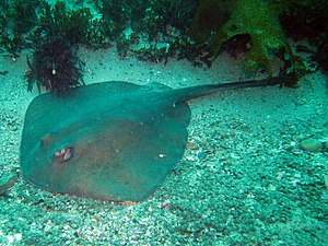 Urolophidae - The eastern shovelnose stingaree (T. imitata), which has a rounded disc and no dorsal fin or lateral skin folds on its tail.