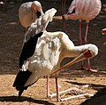 Stork (3312592430).jpg