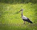 Stork (33558216684).jpg