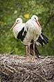 Storks (225799745).jpeg