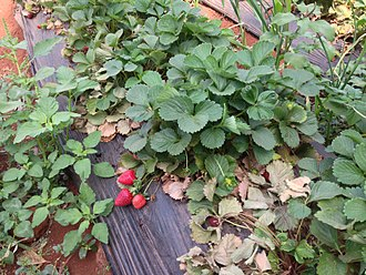 Panchgani - Strawberries being cultivated in a farm in Panchgani.