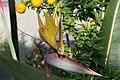 Strelitzia reginae Kirstenbosch Gold 2zz.jpg