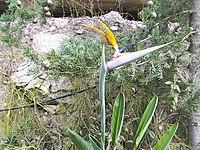 Strelitzia reginae from Kedumim 118.jpg