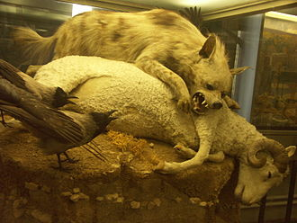 Stuffed striped hyena defending a sheep carcass from hooded crows, exhibited in The Museum of Zoology, St. Petersburg Stripedhyenacrows.JPG
