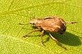 Strophosoma.melanogrammum - lindsey.jpg