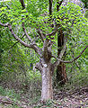Sugar Maple Acer saccharum Tree 2448px.jpg