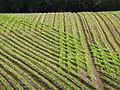 Sugar beet at cross purposes - geograph.org.uk - 1304898.jpg
