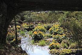 Sumpfdotterblumen am Fuße des Großen Rachels, Nationalpark Bayerischer Wald.JPG