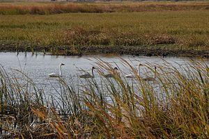 J. Clark Salyer National Wildlife Refuge - Tundra swans at the refuge