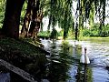 Swans swimming below a weeping willow.jpg