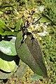 Syzygium zeylanicum 18.JPG