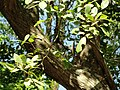 Tabebuia heterophylla - San Juan Botanical Garden - DSC07057.JPG