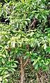 Tabernaemontana citrifolia (Bois - lait).jpg