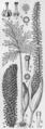 Taccarum weddellianum drawing.png