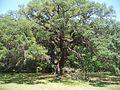 Tallahassee FL Lichgate Oak01.jpg